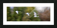 Swan Song ap 2696 Picture Frame print