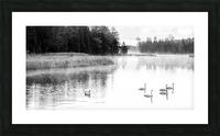 Swan Family ap 2694 B&W Picture Frame print