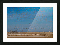 Snow Geese ap 1858 Picture Frame print