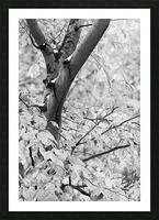 Beech Tree ap 1586 B&W Picture Frame print