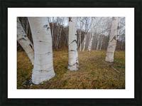 White Birch ap 2242 Picture Frame print