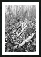 White Birch ap 2186 B&W Picture Frame print