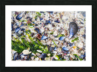 Barnacle Shells ap 1528 Picture Frame print