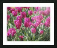 Fantasically Fuschia Tulips Picture Frame print