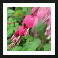 Bleeding Hearts  Picture Frame print
