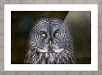 Stare Down with a Great Grey Owl Picture Frame print