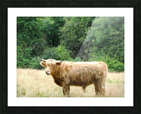 Hairy Coo - Scottish Highlands Picture Frame print