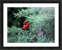 cardinal dad feed5 Picture Frame print