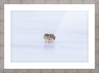 Two Coyote Picture Frame print