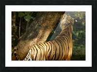 Indian Tiger Picture Frame print