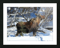 Hungry Moose Picture Frame print