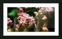 Sempervivum Picture Frame print