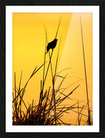 Song of First Light  Picture Frame print