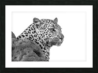 Leopard - B&W Picture Frame print