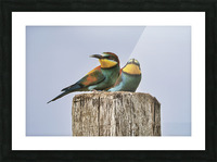 European Bee-Eaters Picture Frame print
