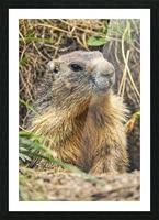 Alpine Marmot Picture Frame print