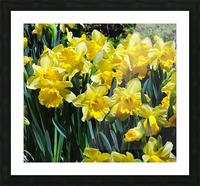 Yellow Daffodils wc Picture Frame print