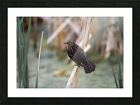 Female redwing blackbird on cat tail Picture Frame print