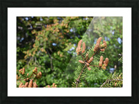 Spruce twig and background Picture Frame print
