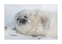 You can call me Snowball! Picture Frame print