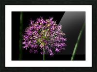 Purple Allium Picture Frame print