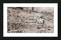 Lonely Sandpiper Picture Frame print