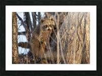 Racoon peeking through twigs Picture Frame print
