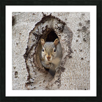 Squirrel in tree hole Picture Frame print