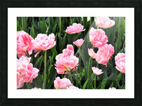 Double Pink Tulips Picture Frame print