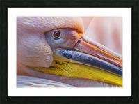Pelican portrait Picture Frame print
