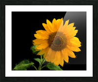 Solitary Sunflower Picture Frame print