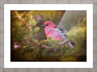 Male Pine Grosbeak Picture Frame print