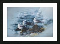 Preening Gulls Picture Frame print