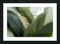 Une larme de hosta  Picture Frame print