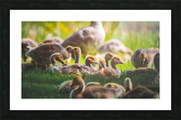 Goslings Gathered Picture Frame print