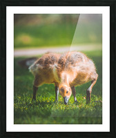 Gooses  Picture Frame print