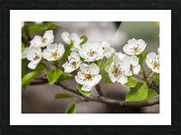 Poirier en fleurs 2 Picture Frame print