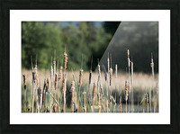Cat Tails in Spring Picture Frame print