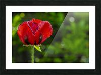 Pavot solo Impression et Cadre photo
