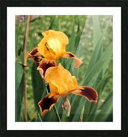 Yellow Brown Iris Picture Frame print