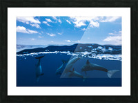 Between air and water with the dolphins Picture Frame print