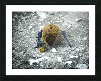 When a baby bat meets a bee. Picture Frame print