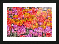 Tulips at Roozengaarde Picture Frame print