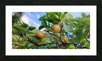 Asian Pears Picture Frame print