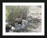 Sheep Huddle Picture Frame print