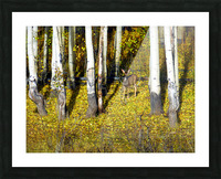 Baby Deer in Old Aspen Trees Picture Frame print
