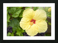 Yellow Hibiscus Tropical Flower Hawaii Picture Frame print