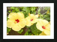 Hibiscus Trio   Tropical Flowers Hawaii Picture Frame print