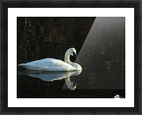 Trumpeter Swan at Estuary Picture Frame print