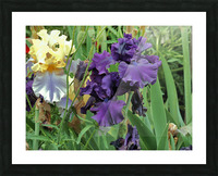 Two Iris Picture Frame print